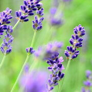 Lavendel slider