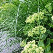 Pennisetum alopecuroides 'Hameln' met Sedum
