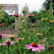 Doorkijkje pergola met Echinacea